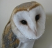 Jesse the Barn Owl