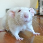 Meet the Animals - Bits the Fancy Rat
