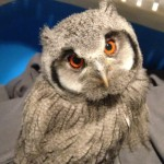 Meet the Animals - Jambo the White Faced Scops Owl
