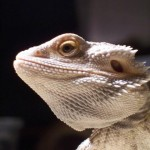 Enquiry Form - Ozzy the Bearded Dragon