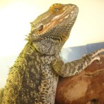 Meet the Animals - Ozzy the Bearded Dragon