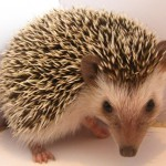 Meet the Animals - Sonic the African Pygmy Hedgehog