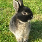 Meet the Animals - Ralph the Netherland Dwarf Rabbit