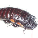Meet the Animals - Sid the Madagascan Hissing Cockroach