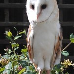 Meet the Animals - Belle the Barn Owl
