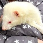 *Currently Unavailable* - Meet the Animals - Boo Boo the Ferret