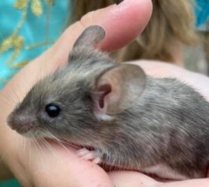 Meet The Animals - Gus The Fancy Mouse - Little Gus is the smallest of our mammals and quickly becoming one of our most popular!