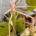 Meet The Animals - Miss Stick the Stick Insect - An invertebrate animal with 6 legs.