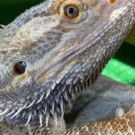 "Meet the Animals - Otto the Bearded Dragon - An Australia Lizard. ""Bearded Dragon"" refers to the ""beard"" of the dragon, the underside of the throat, which can turn black and puff out as a result of stress, or if they feel threatened. Males grow up to 60cm long, and females up to 51 cm."