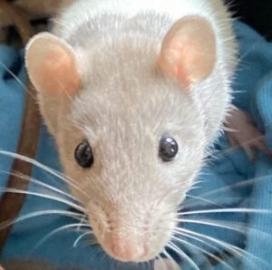 Meet the Animals - Ratty the Fancy Rat - A small Rodent