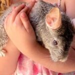 Meet the Animals - Tilly the Chinchilla - A small rodent native to the Andes mountains in South America.