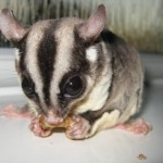 Meet the Animals - Joey the Sugar Glider - A marsupial from Australia - Please note this animal can only be stroked, not held.