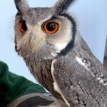 Meet The Animals - Jambo the African White Face Owl - A small, grey coloured owl with long ear-tufts and a black-rimmed white face.