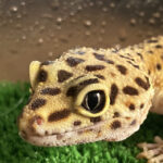 *Currently Unavailable* Meet the Animals - Lola the Leopard Gecko. Leopard geckos are small lizards that derive their name from their spotted coloration. Adult females are about 18 to 20 cm in length and weigh about 50 to 70 grams, while adult male geckos are about 20 to 28 cm in length and weigh about 60 to 80 grams.