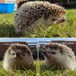 Meet the Animals - Sonic the African Pygmy Hedgehog - A small nocturnal animal from Africa