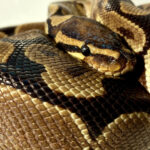 """Meet The Animals -Wilfred the Royal Python - Also Known as a Ball python, this snake is the smallest of the African Pythons, growing to a max. length of 182cm. The name """"ball python"""" refers to its tendency to curl into a ball when stressed or frightened."""