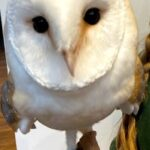 Meet The Animals - Woody the Barn Owl - The barn owl is a medium-sized, pale-coloured owl with long wings and a short, squarish tail.